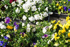 Fleurs dans des pots extérieurs Photo stock