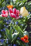Fleurs dans l'amour dans Keukenhof, Pays-Bas Photos stock