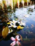 Fleurs dans la piscine sur l'eau Image libre de droits