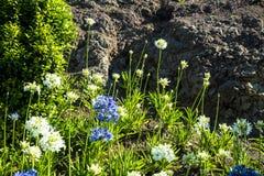 Fleurs dans la ville de Ribeira Brava dans le nord de l'île de la Madère Photographie stock