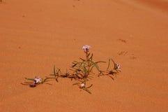 Fleurs dans le désert Photo libre de droits
