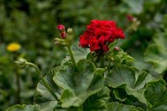 Fleurs dans le lit de fleur d'automne Fleur de géranium dehors photographie stock