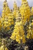 Fleurs dans le Patagonia, Chili Images stock