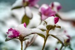 Fleurs dans la neige photo stock