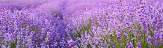Fleurs dans les domaines de lavande Photographie stock