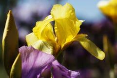 Fleurs dans un jardin au printemps Fleur d'iris jaune Image stock