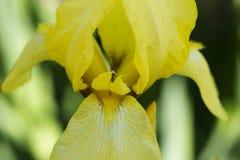 Fleurs dans un jardin au printemps fleur d'iris jaune avec de l'eau Image stock