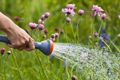 Fleurs de arrosage de main dans le jardin Photo libre de droits