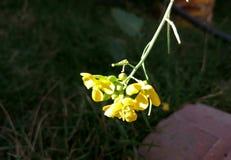 Fleurs de bébé de nature Image stock