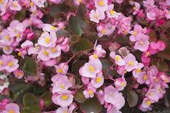 Fleurs de bégonia Photographie stock libre de droits