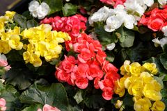 Fleurs de bégonia de Rieger images stock
