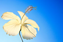 Fleurs de Ba de Cha en Thaïlande. Photographie stock