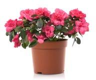 Fleurs de bac de fleur d'azalée Photographie stock libre de droits