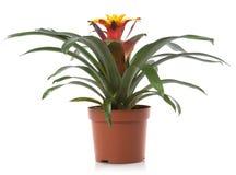 Fleurs de bac de fleur de Bromelia Images libres de droits