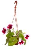 Fleurs de bac de fleur de Gloxinia Photos stock