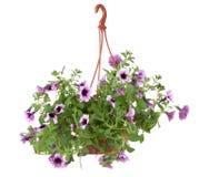 Fleurs de bac de fleur de Surfinia Photo stock