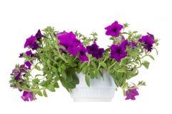 Fleurs de bac de fleur de Surfinia Photographie stock libre de droits