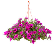 Fleurs de bac de fleur de Surfinia image libre de droits