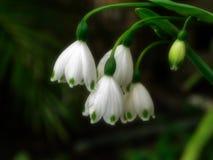 Fleurs de baisse de neige après la pluie Photographie stock libre de droits