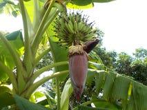 Fleurs de banane Photos libres de droits