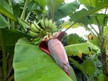 Fleurs de banane Photo libre de droits