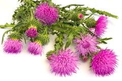 Fleurs de bardane Photos stock