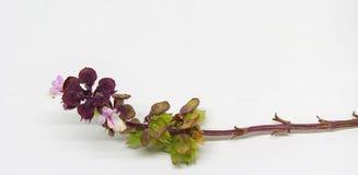 Fleurs de Basil Photos libres de droits