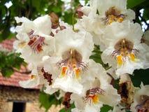 Fleurs de Bean Tree d'Indien Image stock