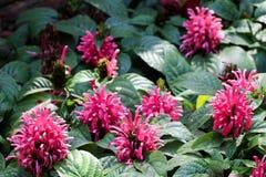Fleurs de BeautifulBrazilian Blume en nature photo stock