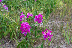 Fleurs de bec d'ancre doux Photo stock