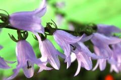 Fleurs de Bell, Image libre de droits