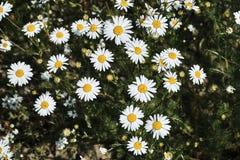 Fleurs de belle, blanche et jaune camomille Images stock