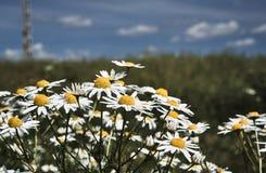 Fleurs de belle, blanche et jaune camomille Image libre de droits