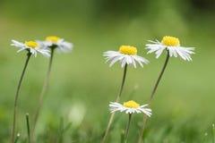 Fleurs de Bellis dans une pelouse Photo libre de droits