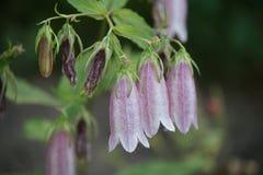 Fleurs de Bells Image libre de droits