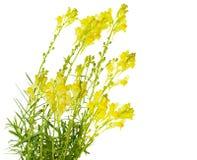 Fleurs de beurre et d'oeufs Photo stock