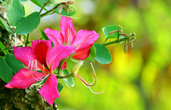 Fleurs de blakeana de bauhinia de Pin Image libre de droits