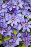 Fleurs de bleu de Clematis images stock