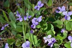 Fleurs de bleu de forêt Photos stock