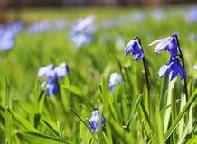 Fleurs de bleu de printemps photographie stock libre de droits