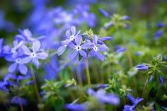 Fleurs de bleu de ressort Photos stock