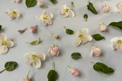 Fleurs de blossoApple d'Apple sur un fond gris Fond des fleurs de source Photo libre de droits