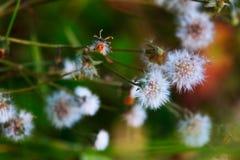 Fleurs de blowballs de Taraxacum photos libres de droits