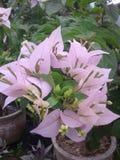 Fleurs de bouganvillée photographie stock libre de droits