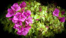 Fleurs de bouganvillée Image libre de droits