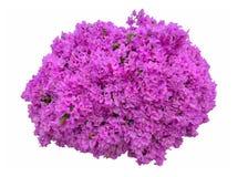 Fleurs de bouganvillée Image stock