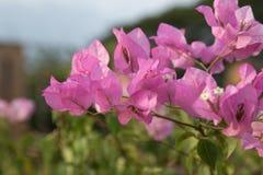 Fleurs de bouganvillée Photographie stock