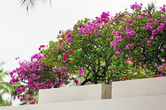 Fleurs de bouganvillée dans une cour Images libres de droits