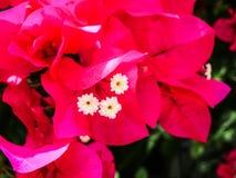 fleurs de bouganvillée de roses indien Photos stock