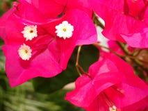fleurs de bouganvillée de roses indien Images stock